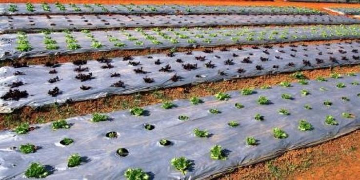 मल्चिंग पेपर - एक पाऊल प्रगत शेतीकडे